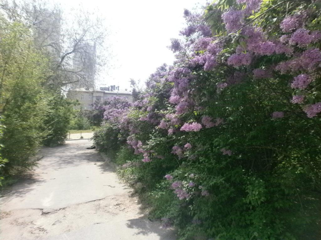 Lilac alley upper terrace of the Tsaritsa river.