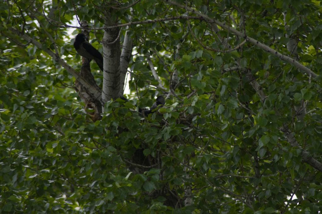 Poplars nest.