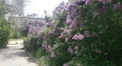Lilac bushes in full bloom